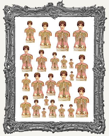 24 Victorian Torso Anatomy Paper Cuts