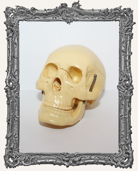 Large Skull with Hinged Jaw and Removable Cranium